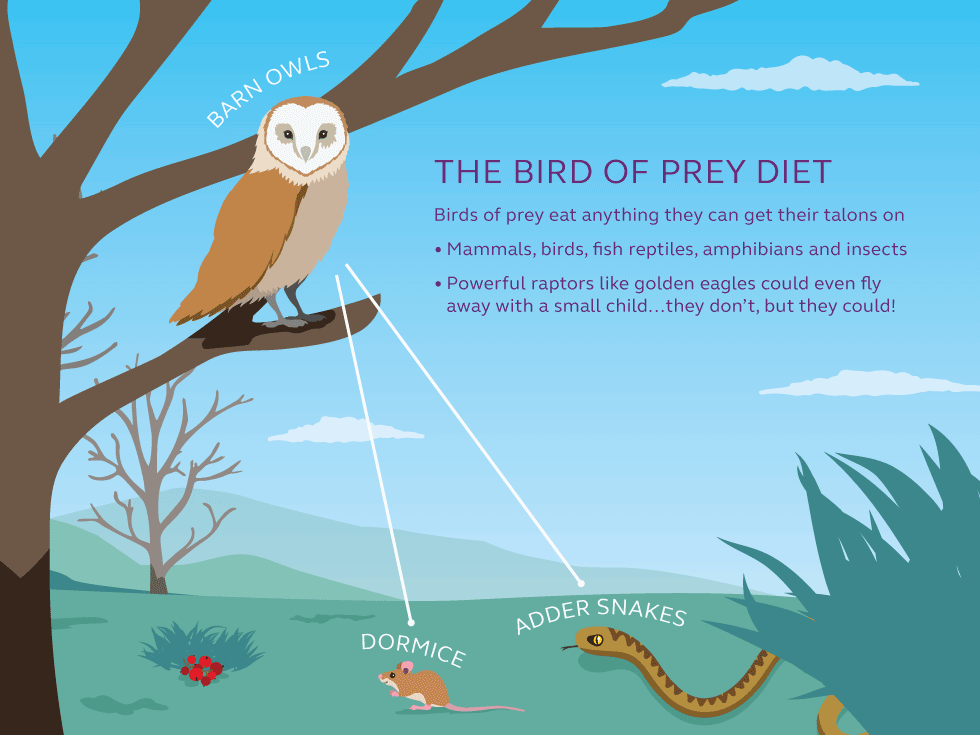 Illustration and information about the bird of prey food chain