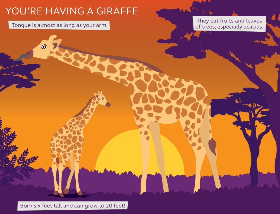 Illustration and information of giraffes
