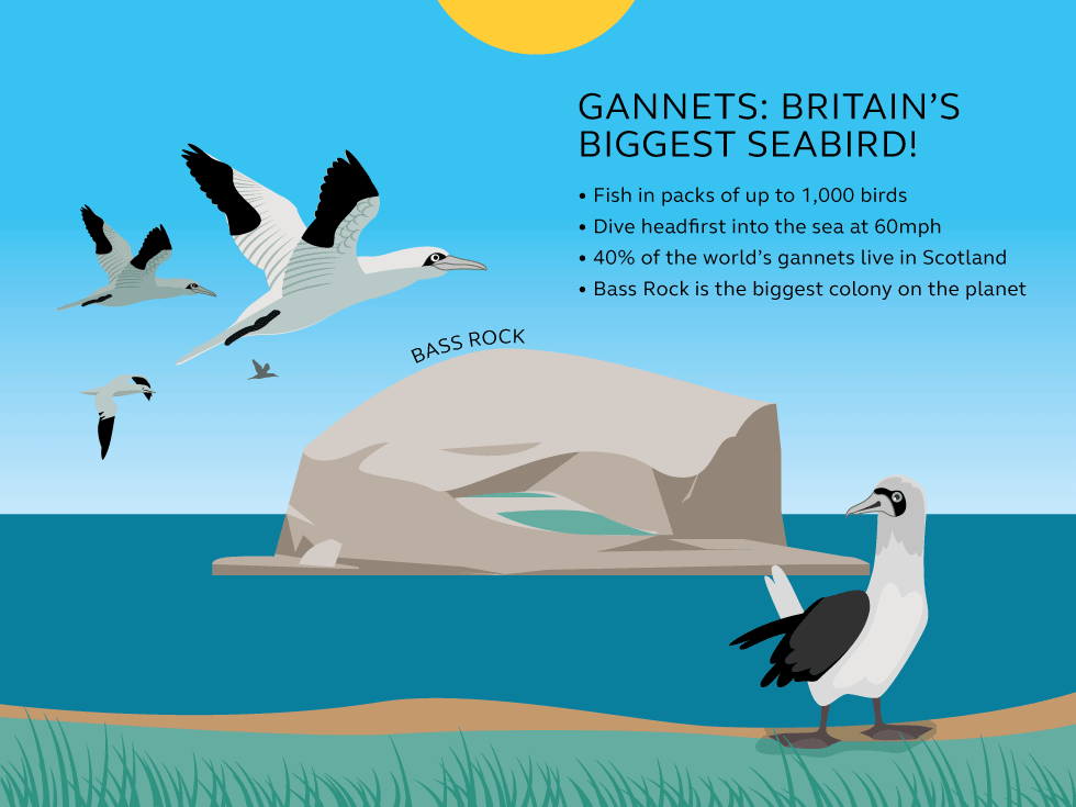 Illustration and information about gannets