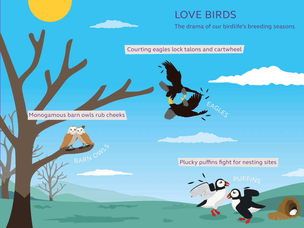 Illustration and information about love birds