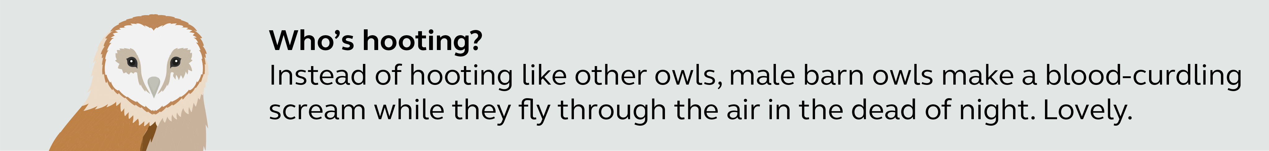 Illustration and information about barn owls