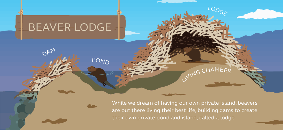Illustration and information about beaver dams
