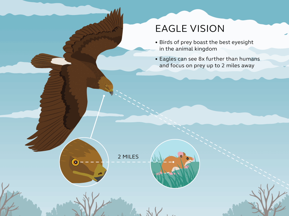 Illustration and information about eagle vision